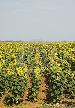 Sunflower field #1