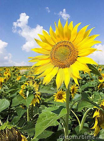 Free Sunflower Field Royalty Free Stock Photo - 1046655