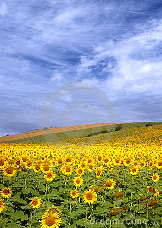 Free Sunflower Field Royalty Free Stock Image - 12558756