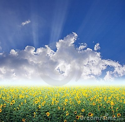 Sunflower Field Stock Photos - Image: 15443133