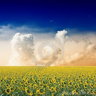 Free Sunflower Field Royalty Free Stock Images - 15746359