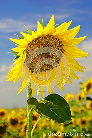 Sunflower on the field