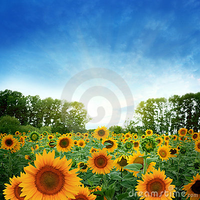 Free Sunflower Field Stock Image - 17909141