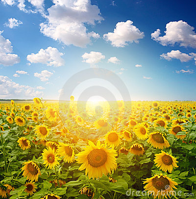 Free Sunflower Field Royalty Free Stock Photos - 21569888