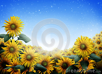 Sunflower Field Stock Photos - Image: 25915943
