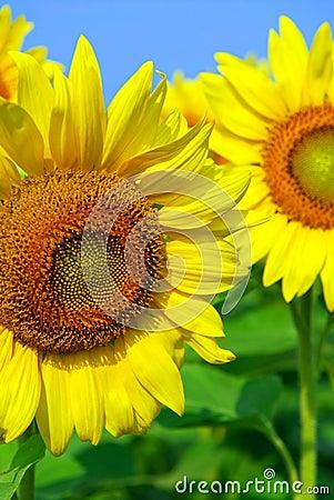 Free Sunflower Field Stock Image - 2981591