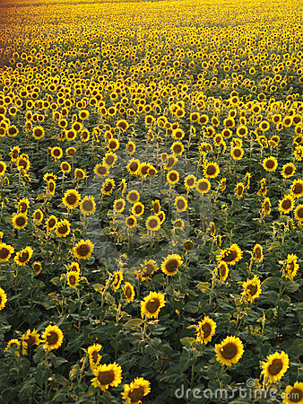Free Sunflower Field. Royalty Free Stock Image - 4245316