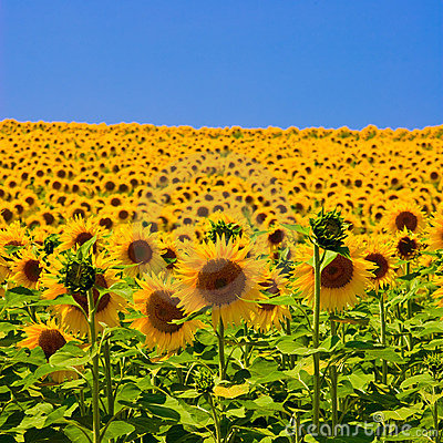Free Sunflower Field Royalty Free Stock Photography - 5375017