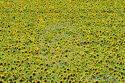 Sunflower field from above