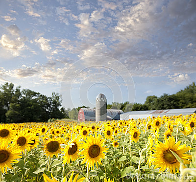 Free Sunflower Field And Barn With Clouds And Sky Royalty Free Stock Photos - 58237548