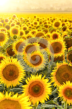 Free Sunflower Field At Sunset Stock Photography - 50595852