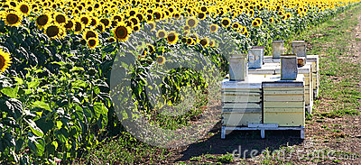 Sunflower field with bee hives
