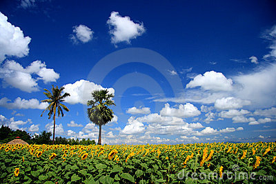 Sunflower Field And Blue Sky Stock Image - Image: 22349701