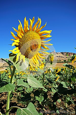 Sunflower field, Teba, Andalusia.
