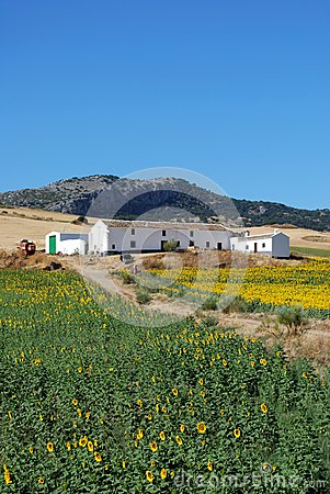 Sunflower field, Andalusia, Spain.