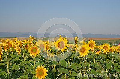 Sunflower field landscape