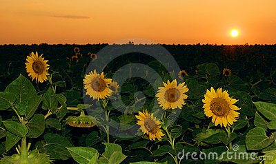 Sunflower field in sunset