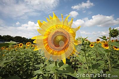 Sunflower field under sky