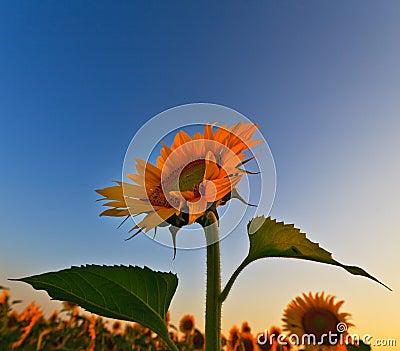 Sunflower field in warm evening light