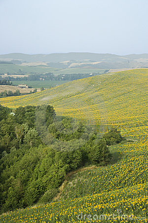 Sunflower fields on rolling hills.