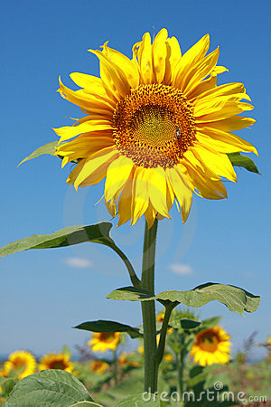 Sunflower in full bloom with a bee