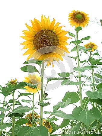 Free Sunflower Garden Stock Photo - 59180