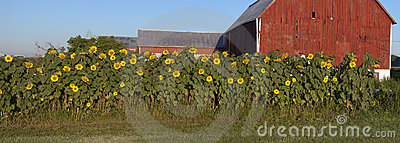 Sunflower Garden Panorama Barn Farm Panoramic