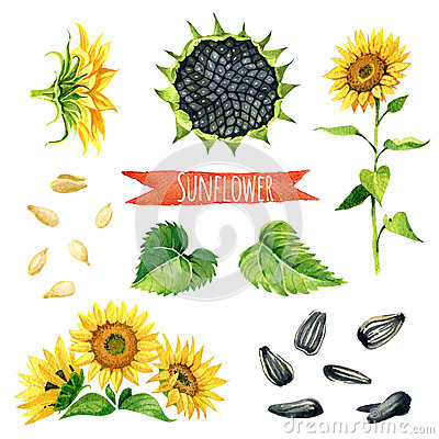 Free Sunflower, Hand-painted Watercolor Set Royalty Free Stock Photography - 67541457