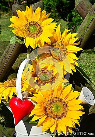 Sunflower heart red love