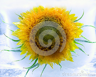 Sunflower in ice