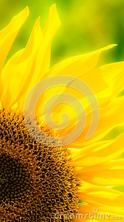 Free Sunflower In A Field Royalty Free Stock Images - 103178049