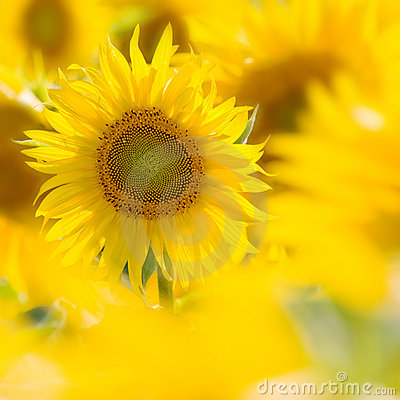 Free Sunflower In A Field Royalty Free Stock Photo - 6928935