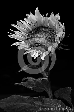 Free Sunflower In Monochrome, Background Stock Photos - 104774253
