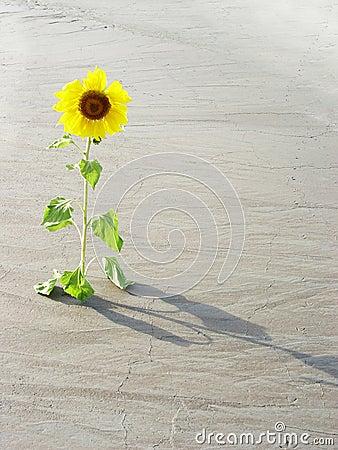 Free Sunflower In The Desert Stock Images - 2921364