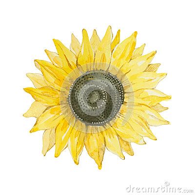 Free Sunflower Isolated On A White Background.Vector, Watercolor Hand Stock Image - 53546331