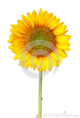 Free Sunflower Isolated On White With Clipping Path Royalty Free Stock Photos - 24733438
