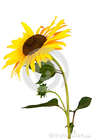 Free Sunflower Isolated Over White Royalty Free Stock Photos - 25843348