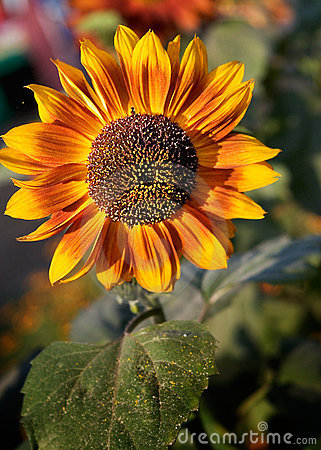 Sunflower losing pollen