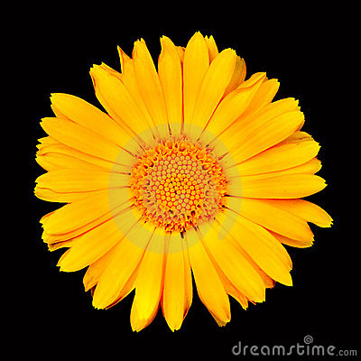 Sunflower macro shot over black background