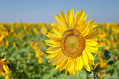 Sunflower in the morning on the sun