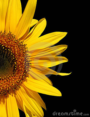 Free Sunflower On Black Stock Photo - 585330