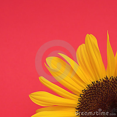 Free Sunflower On Red Royalty Free Stock Images - 2850269