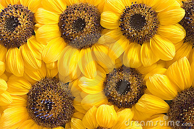 Sunflower petals background