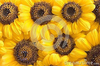 Sunflower petals background