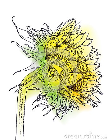 Ink and watercolor sunflower