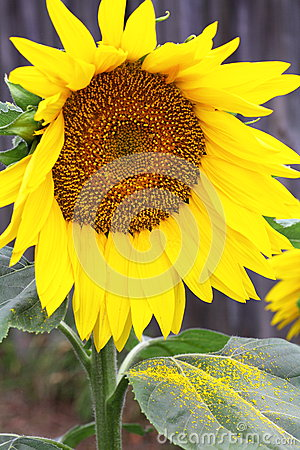 Sunflower with pollen on leaf