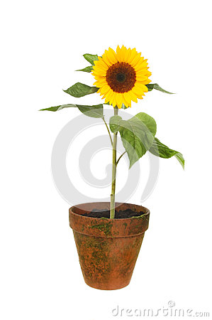 sunflower in pot stock photography. Black Bedroom Furniture Sets. Home Design Ideas