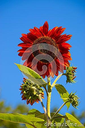 Free Sunflower Red Summer Stock Photos - 45847933