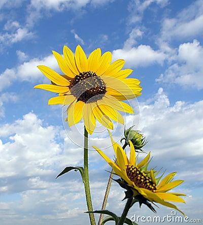 Sunflower Skyscape