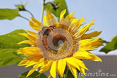 Sunflower with Small Tortoiseshell